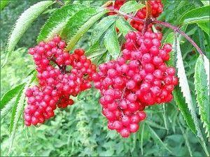 ягоды бузины