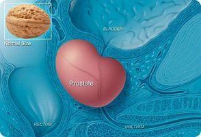 простата находится под мочеиспускательным каналом