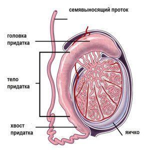 Эпидидимит: симптомы и лечение