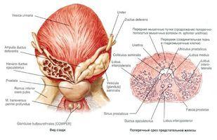 Внутренне доение органа чаще всего производится одним, двумя пальцами