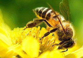 биологически чистого прополиса собранного пчелами