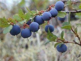 Уникальные свойства северной ягоды