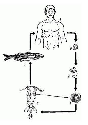 Цикл развития широкого лентеца