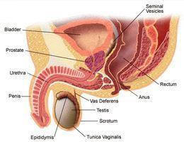 нормализации работы мочевыводящих протоков